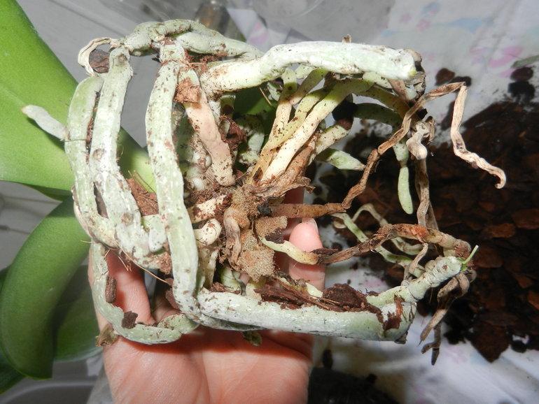 Если корни орхидеи запутанны в субтрате