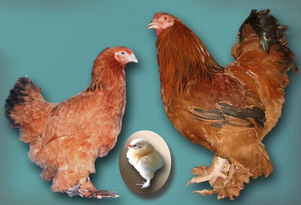 Картинки по запросу курица с лохматыми ногами