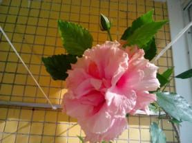 Роза гибискус розовый махровый дерево китайская ро