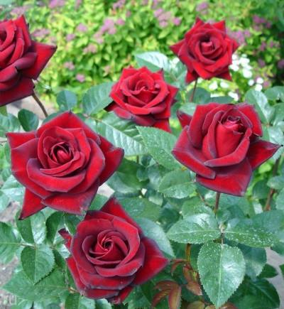 Роза чайно-гибридная Schwarce Madonna 1 шт.