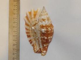 Морская раковина, ракушка Strombus sinuatus - стро
