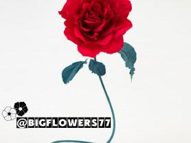 Роскошные ростовые розы из гофрированной бумаги