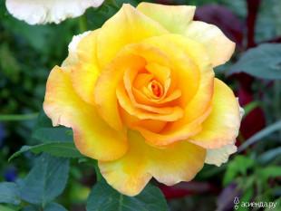 Роза чайно-гибридная Golden Medallion 1 шт.