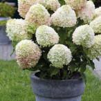 Hydrangea paniculata Summer Love р9