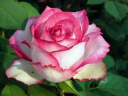 Роза чайно-гибридная N-Joy 1 шт.