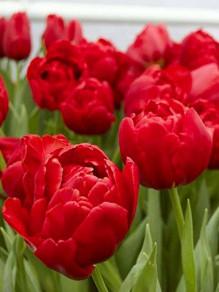 тюльпан Abba