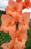 Gladiolus Peter Pears