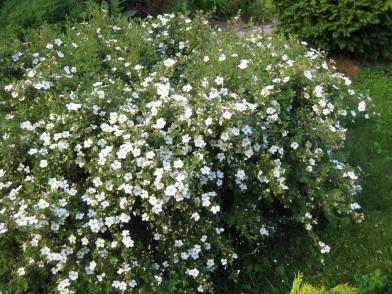 Potentilla f. Abbotswood/лапчатка кустарниковая