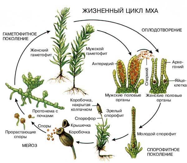 растений жизненный цикл