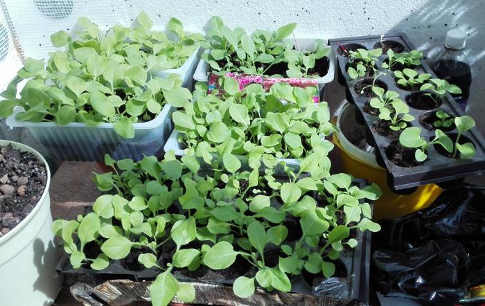 Выращивание ревень в открытом грунте 5