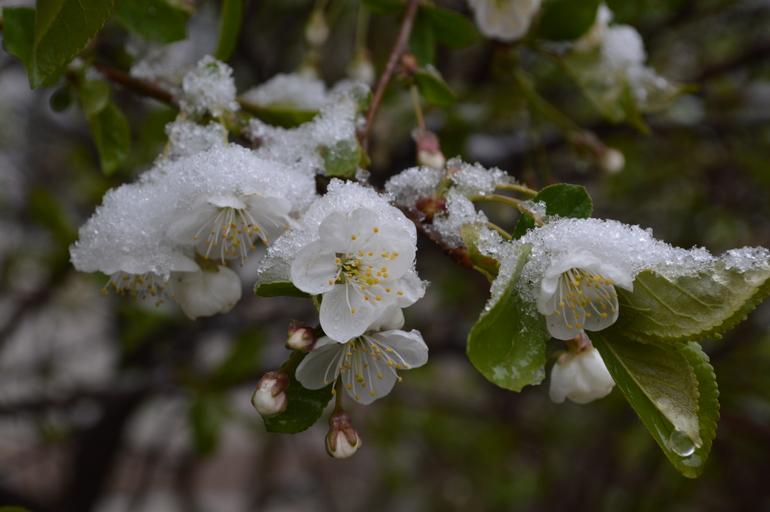 Природа сотворила чудо! Моё снежное майское утро!  Главное успеть.....