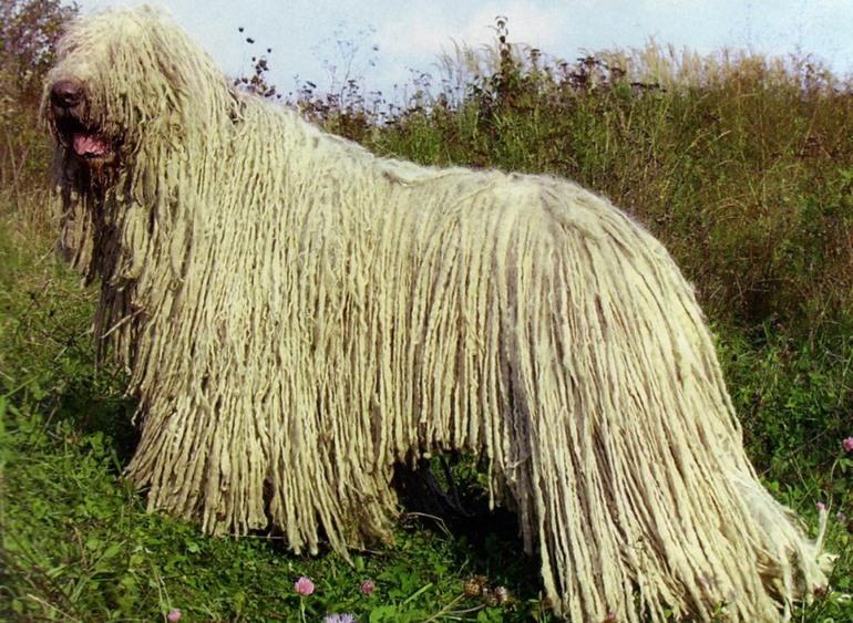 Венгерская овчарка командор