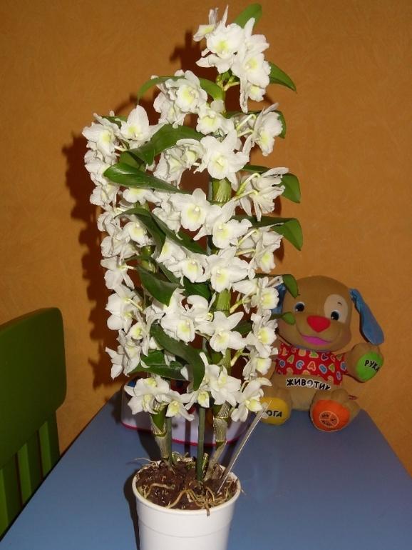 Орхидейное счастье