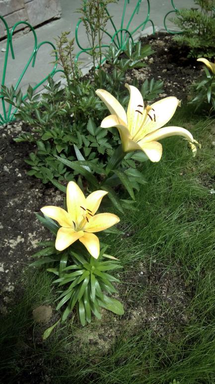 Зацвели лилии