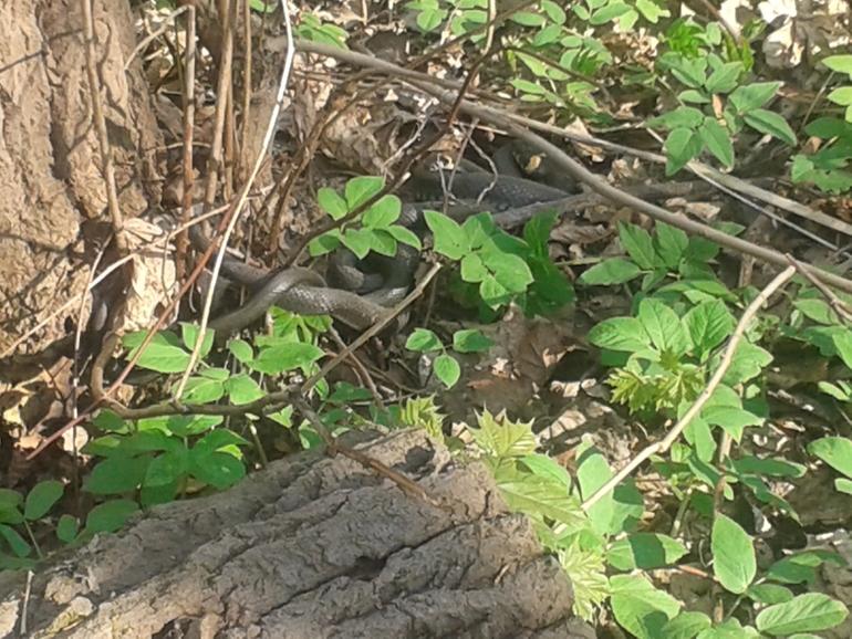 Змеи  в  Ясенево
