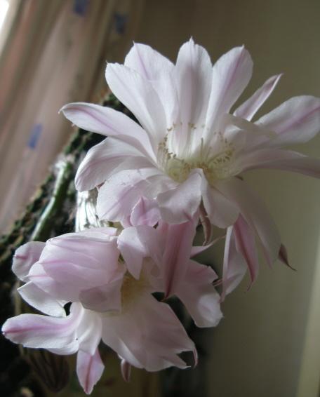 Детки цветущего кактуса