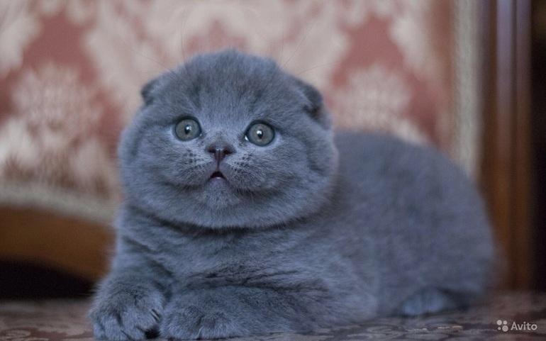 шотландские вислоухие голубой котята фото