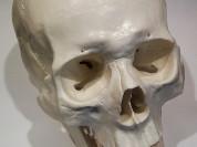 Модель черепа (белый) - новый, в наличии