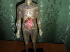 Человеческое тело.Анатомия человека в сборе
