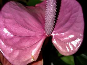 Фиолетовый антуриум cavalli