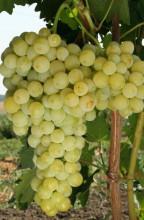 Виноград культурный Бианка