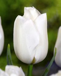 Тюльпан Bolroyal Silver