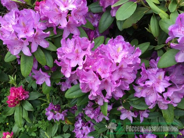 Rhododendron hybrida Catawbiense Grandiflorum