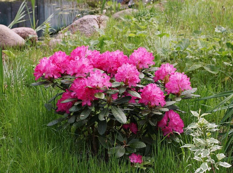 Rhododendron hybrida Hellikki