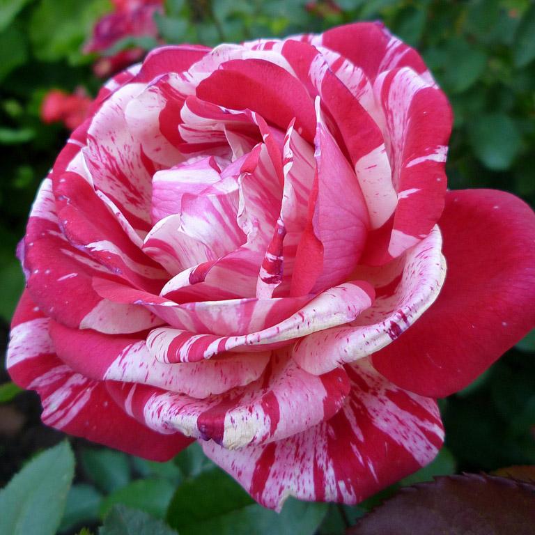 Роза Papageno чайно-гибридные