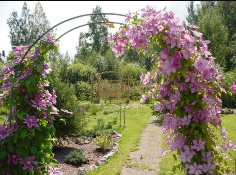 Клематис уход и выращивание в саду